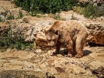 Сирийский бурый медведь, зоопарк Иерусалима библейский в Израиле Стоковая Фотография