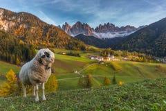 Серьезные овцы стоковое изображение