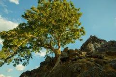 Сиротливая большая стойка дерева в холме на пляже Batu Termanu Стоковые Фотографии RF