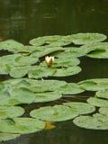 Сиротливая лес-лилия в пруде Стоковое фото RF
