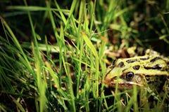 Сиротливая лягушка стоковые фото