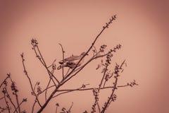 Сиротливая Розов-necked зеленая птица голубя (vernans Treron) perchin Стоковое Фото