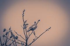Сиротливая Розов-necked зеленая птица голубя (vernans Treron) perchin Стоковая Фотография RF