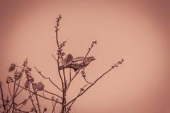 Сиротливая Розов-necked зеленая птица голубя (vernans Treron) perchin Стоковая Фотография