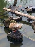 Сиротливая утка Стоковые Фото