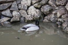 Сиротливая утка Стоковая Фотография RF