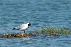Сиротливая чернота чайки возглавила чайку на озере Стоковое Изображение