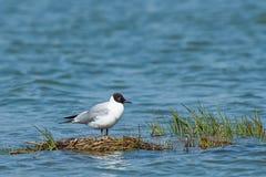 Сиротливая чернота чайки возглавила чайку на озере Стоковые Изображения