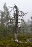 Сиротливое высушенное дерево в coniferous лесе с туманом стоковая фотография rf