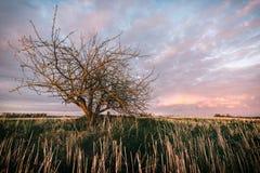Сиротливое дерево без листьев в поля в заходе солнца Стоковая Фотография RF