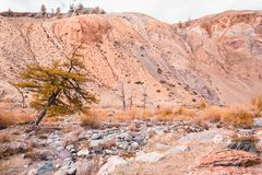 Сиротливое дерево лиственницы на красочных холмах стоковые фото