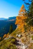 Сиротливое дерево лиственницы sunlit в юлианских горных вершинах Стоковые Изображения RF