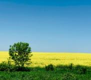 Сиротливое дерево на предпосылке поля рапса в ярком солнечном дне стоковая фотография rf