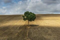 Сиротливое дерево около Осер Франции стоковые фотографии rf