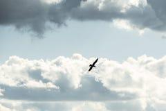 Сиротливое летание птицы против голубого неба и облаков Стоковое Фото