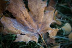 Сиротливые лист предусматриванные в льде стоковые фото