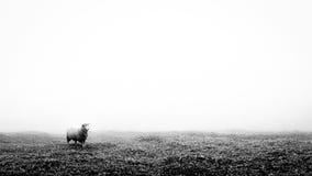 Сиротливые овцы на поле травы в черно-белом стоковые изображения rf