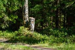 Сиротливые стволы дерева в лесе в лете Стоковое фото RF