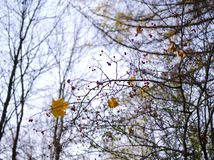 Сиротливые ягоды лист и рябины на дереве осени Стоковые Изображения RF