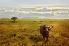 Сиротливый африканский буйвол в национальном парке Serengeti против фона красивого неба захода солнца вышесказанного стоковое фото rf