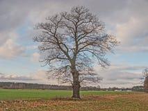 Сиротливый, безлистный дуб в поле стоковое изображение