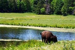 Сиротливый бизон около пруда лесом стоковое фото