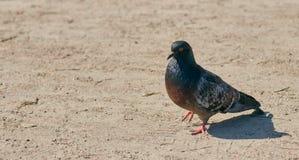 Сиротливый голубь идет в парк в ясной погоде конец птицы вверх стоковое изображение