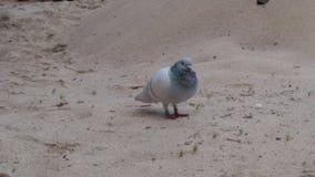 Сиротливый голубь стоковое изображение rf