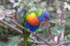 Сиротливый длиннохвостый попугай радуги на ветви дерева в плене стоковые изображения