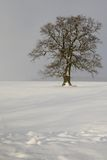 сиротливый дуб Стоковая Фотография