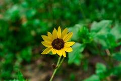 Сиротливый желтый солнцецвет стоковая фотография