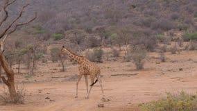 Сиротливый жираф идя на сухую пылевоздушную африканскую саванну, Samburu Кения 4k видеоматериал