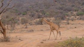Сиротливый жираф идя на сухую пылевоздушную африканскую саванну, Samburu Кения Стоковое фото RF