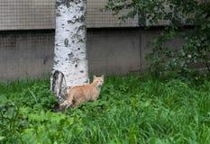 Сиротливый красный кот идя в двор стоковое фото rf