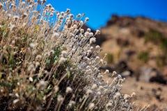 Сиротливый куст на вулканических породах - национальный парк Teide, Тенерифе Стоковое фото RF