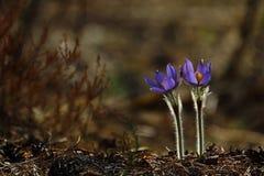 Сиротливый лес Pasqueflower весны стоковая фотография