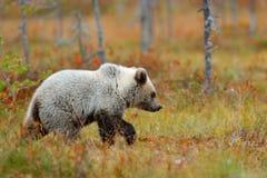 Сиротливый молодой медведь новичка в щенке медведя соснового леса без матери Светлый - серое животное в лесе природы и среде обит стоковое фото