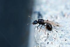 Сиротливый муравей, предпосылка, муравей на стене Стоковая Фотография