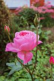 Сиротливый поднял в сад осени Стоковая Фотография