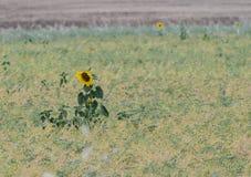Сиротливый солнцецвет в поле в Провансали, Франции Стоковые Фотографии RF