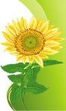 сиротливый солнцецвет Стоковая Фотография RF