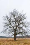 Сиротливый старый дуб на предпосылке неба осени стоковые фотографии rf