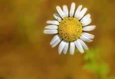 Сиротливый цветок маргаритки Стоковая Фотография RF