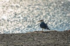 Сиротливый Larus marinus чайки на сером Pebble Beach на запачканной предпосылке серебряных волн моря стоковое фото