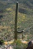 сиротливый saguaro национального парка Стоковое Изображение RF