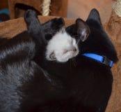 Сиротский котенок с котом приемной матери Стоковые Фото