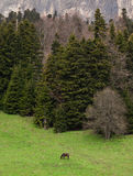Сиротливая дикая лошадь в древесине дикая лошадь на зеленом mountai Стоковые Изображения