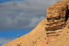 Сиротливая овца на горизонте, Chubut, Аргентина Стоковая Фотография