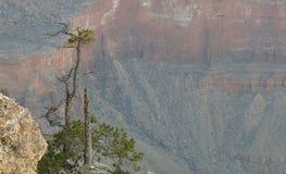 сиротливая сосенка Стоковая Фотография RF