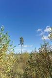 Сиротливая сосна в расчистке нет предпосылки голубого неба Стоковое фото RF